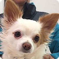 Adopt A Pet :: COCO - Hurricane, UT