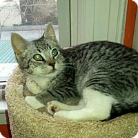Domestic Shorthair Cat for adoption in Queens, New York - Jay