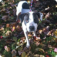 Adopt A Pet :: Piper in CT - Manchester, CT