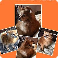 Adopt A Pet :: Honey bear - Gilbert, AZ