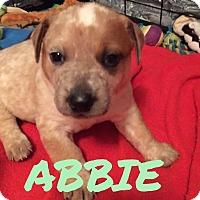Adopt A Pet :: Abbie - Rexford, NY