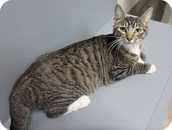 Domestic Shorthair Cat for adoption in Seguin, Texas - Samon