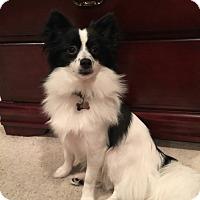 Adopt A Pet :: Thor - Kingwood, TX