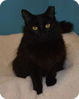 Domestic Longhair Cat for adoption in Cincinnati, Ohio - Strawberry