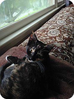 Domestic Shorthair Kitten for adoption in Coopersburg, Pennsylvania - Wendy