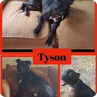 American Pit Bull Terrier Dog for adoption in Fenton, Missouri - Tyson