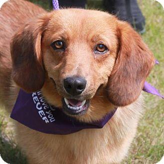 Golden Retriever/Corgi Mix Dog for adoption in Garfield Heights, Ohio - Grady-ADOPTED!