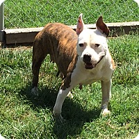 Bull Terrier Mix Dog for adoption in Salisbury, North Carolina - Lucy