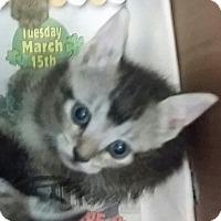 Adopt A Pet :: 2 Kittens  Abyssinian/DSH - Ocala, FL