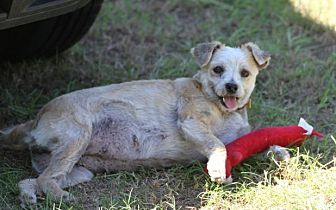 Terrier (Unknown Type, Small) Mix Dog for adoption in Cat Spring, Texas - Chloe