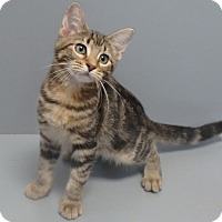 Domestic Mediumhair Cat for adoption in Seguin, Texas - Bailey