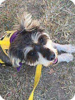 Standard Schnauzer/Poodle (Miniature) Mix Dog for adoption in Greenwood, Louisiana - Bentley