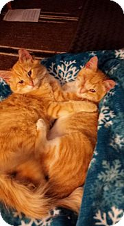 Domestic Shorthair Kitten for adoption in Denver, Colorado - Cheddar & Colby Jack
