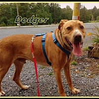 Adopt A Pet :: Dodger - Berkeley Springs, WV