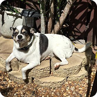 Chihuahua Dog for adoption in Davie, Florida - Benito Juarez