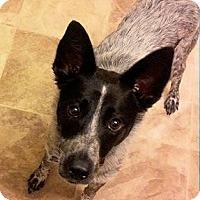 Blue Heeler Mix Dog for adoption in Ogden, Utah - Roscoe