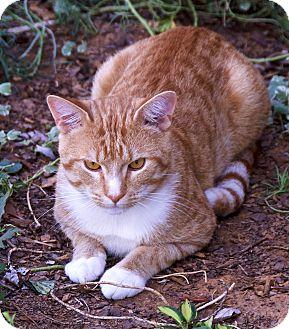 American Shorthair Cat for adoption in Staunton, Virginia - Lane - $30