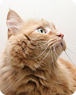 Domestic Longhair Cat for adoption in Bellingham, Washington - Helix