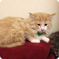 Adopt A Pet :: Boots - Fort Collins, CO
