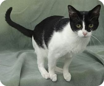 Domestic Shorthair Cat for adoption in Olive Branch, Mississippi - Mia