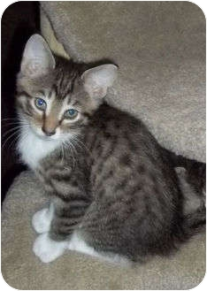 Domestic Shorthair Kitten for adoption in Montgomery, Illinois - Bizzy - Dixon, IL