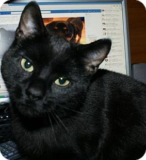 Domestic Shorthair Cat for adoption in Huntsville, Ontario - Hobo - Affectionate!