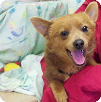 shiba inu mixed with pomeranian ricky 222 adopted dog 222 waldorf md pomeranian 3085