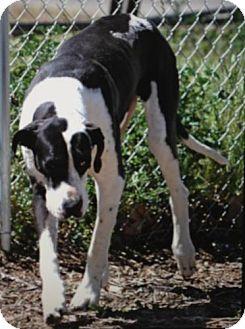 Great Dane Dog for adoption in Red Bluff, California - Akimo-$45 Adoption Fee