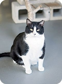 Domestic Shorthair Cat for adoption in Carencro, Louisiana - Zorro