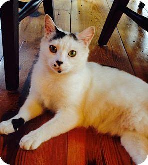 Domestic Shorthair Cat for adoption in Spartanburg, South Carolina - Brooklyn