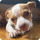 Adopt A Pet :: Nicky (Has application)