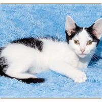 Adopt A Pet :: Lolly - Mt. Prospect, IL