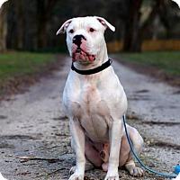 Adopt A Pet :: Titon - Gainesville, FL