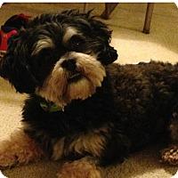 Adopt A Pet :: Teddy Bear - LEXINGTON, KY