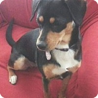Miniature Pinscher/Corgi Mix Dog for adoption in Columbus, Ohio - Nikki