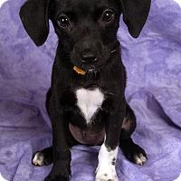 Adopt A Pet :: Kate BeagleMinPin - St. Louis, MO