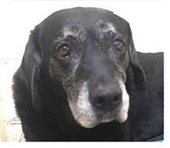 Labrador Retriever Mix Dog for adoption in Springdale, Arkansas - Alana