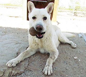 German Shepherd Dog/Husky Mix Dog for adoption in San Tan Valley, Arizona - Kodiak