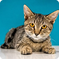Domestic Shorthair Kitten for adoption in Chandler, Arizona - Crystal