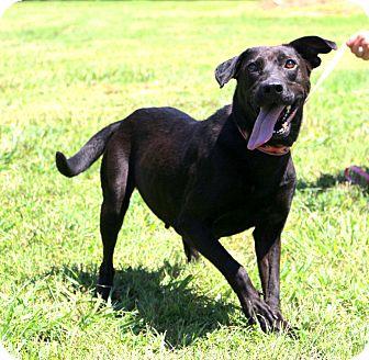 Labrador Retriever Mix Dog for adoption in Glastonbury, Connecticut - Itsy