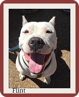 American Bulldog/Pit Bull Terrier Mix Dog for adoption in Memphis, Tennessee - Flint