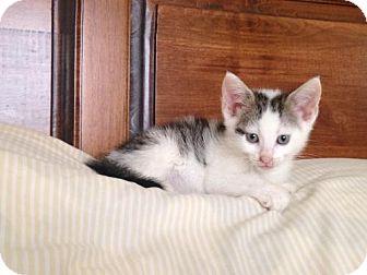 Domestic Shorthair Kitten for adoption in Jenkintown, Pennsylvania - Ari