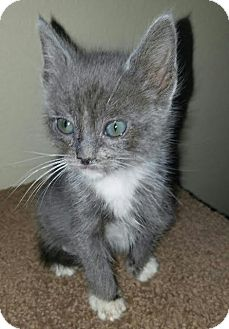 Domestic Mediumhair Kitten for adoption in Monrovia, California - Toby