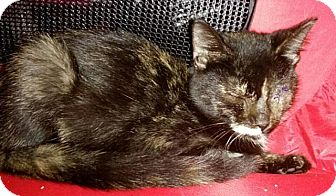 Domestic Shorthair Cat for adoption in Tampa, Florida - Iris