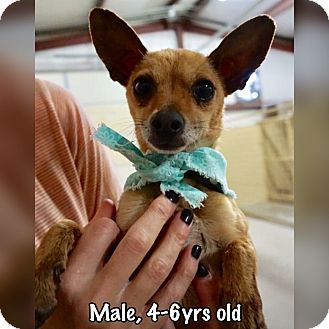 Chihuahua Mix Dog for adoption in Boerne, Texas - Tin Tin