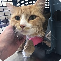 Domestic Longhair Cat for adoption in Hartford, Connecticut - Odie