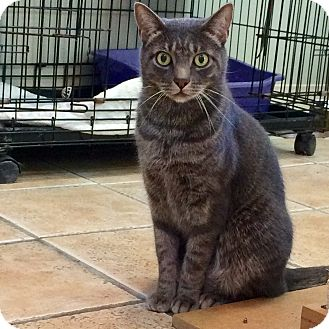 Domestic Shorthair Cat for adoption in Hamilton, New Jersey - MARBLE