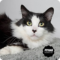 Adopt A Pet :: Petunia - Wyandotte, MI