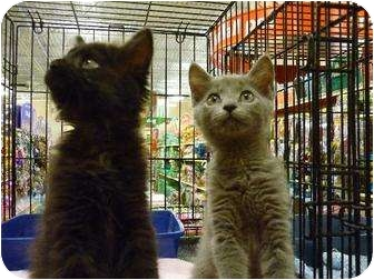Domestic Mediumhair Cat for adoption in Chattanooga, Tennessee - Tot