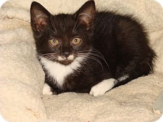 Domestic Shorthair Kitten for adoption in Spotsylvania, Virginia - Polly